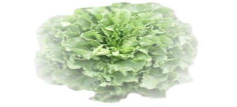 Endivien-Salat
